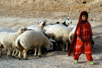 A small flock of sheep and a local Afghan girl