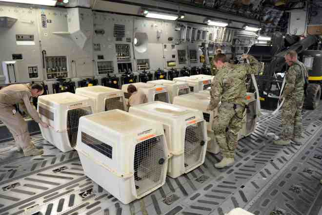 Image of Military Working Dogs leaving Afghanistan after a tour of duty. Sgt Barry Pope RLC (Phot)