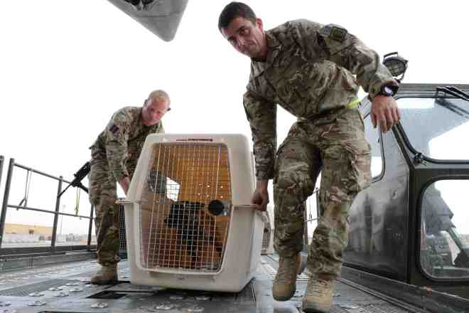 Members of the Royal Army Veterinary Corps loading military working dogs in to the C17 aircraft in preparation for the flight home to the UK. Sgt Barry Pope RLC (Phot)